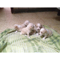 Cachorros French Poodle Toy Vacunados Y Desparacitados.