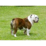 Cachorros Bulldog Inglés!!!