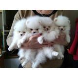 Hermosos Cachorros De Pomerania Blancos