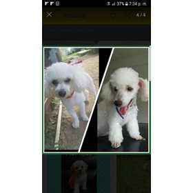 Frenchs Poodle Hembra