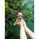 Bellos Chihuahuas