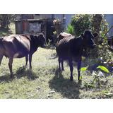 6 Vacas Chumicas Y Jerseys