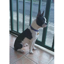 Boston Terrier Para Salto - Padrote