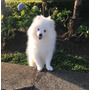 Cachorro Pomerania Macho Blanco Nieve | MCORDE81